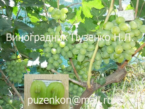 Описание винограда подарок запорожью 658