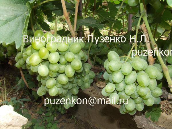 Описание винограда подарок запорожью 43