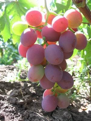 виноград розовый персиковый характеристика характеристику этим требованиям