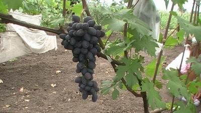 Виноград чёрная вишня
