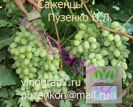 Фото сортаАйвенго (Россия)