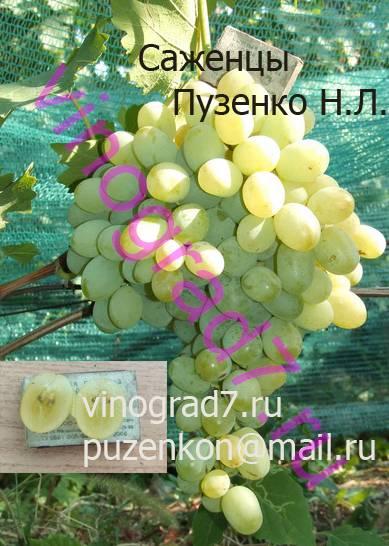 Фото сортаАлекса (Россия)