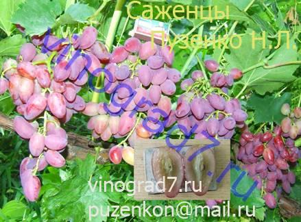Фото сортаАрго (Загорулько В.В.)