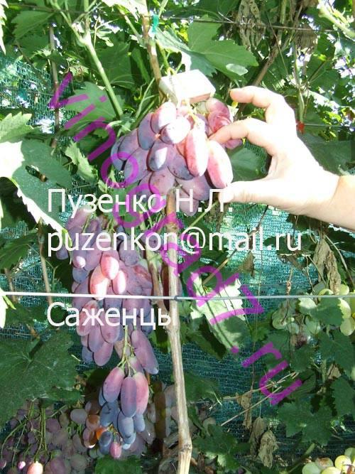 Фото сортаАся (Загорулько В.В.)