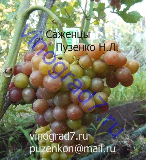 Фото сортаБлестящий (Россия)