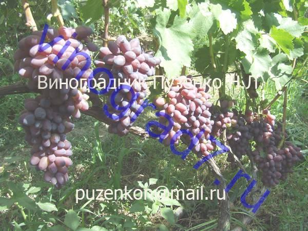 Фото сортаКарМаКод (Россия)