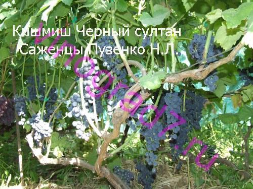 Фото сортаКишмиш Черный султан (Россия)