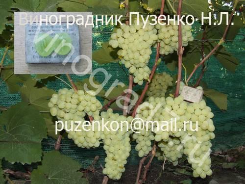 Фото сортаКишмиш Коктейль (Россия)