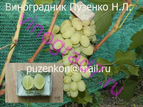 Фото сортаКишмиш Надежный (Крайнов В.Н.)