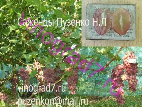 Фото сортаКишмиш Премьер (Россия)