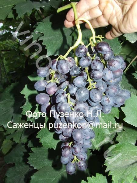 Фото сортаКраса Никополя (Сидун А.С.)