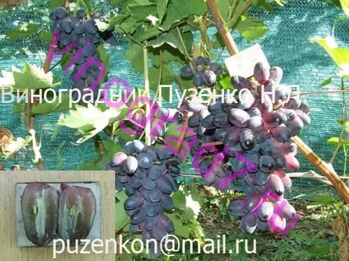 Фото сортаКрасотка (Павловский Е.Г.)