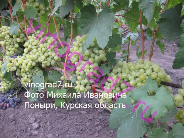 Фото сортаСеянец продюсера (Павловский Е.Г.)