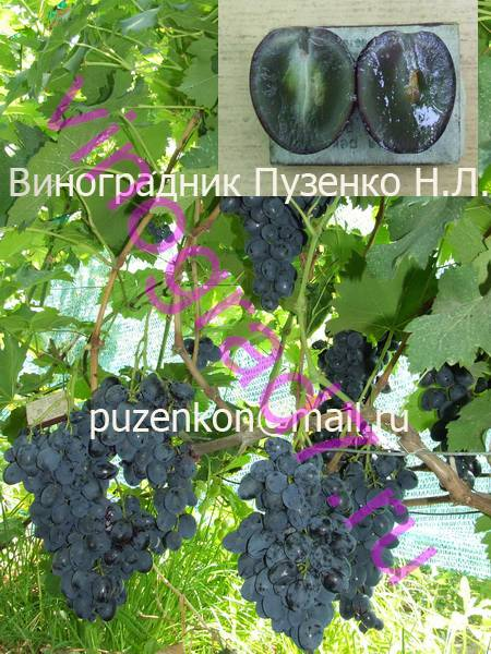 Фото сортаСфинкс (Загорулько В.В.)