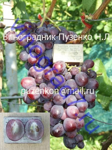 Фото сортаЗаря несвятая (Павловский Е.Г.)
